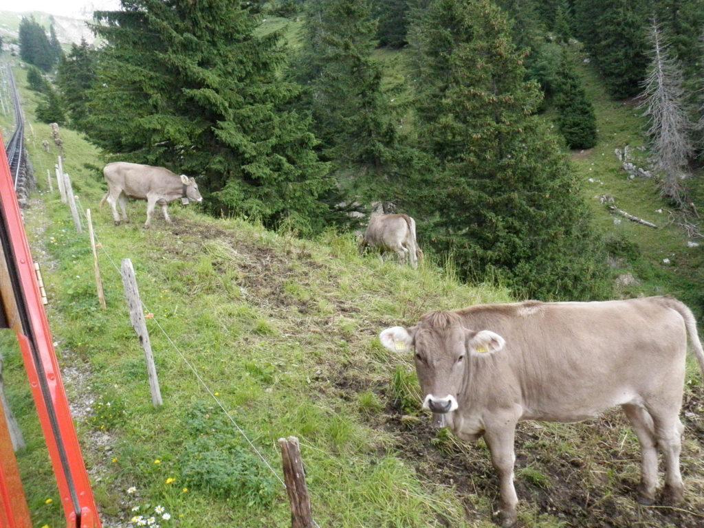 Корова на склоне горы фото