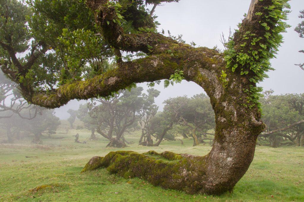 Остров Мадейра. Лавровый лес